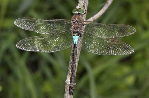 Ruhendes Männchen der Kleinen Königslibelle, Anax partheope, dorsale Ansicht.