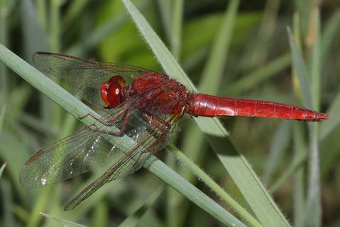 Ein erwachsenes und ausgefärbtes Männchen der Feuerlibelle, Crocothemis erythraea.