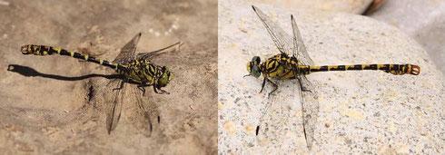 Zwei Männchen der Kleinen Zangenlibelle (links) und der Westlichen Zangenlibelle im Vergleich.