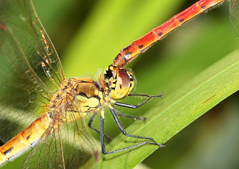 Haltegriff des Männchens an einem Weibchen am Beispiel eines Pärchens der Sumpf - Heidelibelle, Sympetrum depressiusculum.