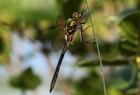 Ein bis fast zur Gänze ausgefärbtes Männchen der Glänzenden Smaragdlibelle, Somatochlora metallica.