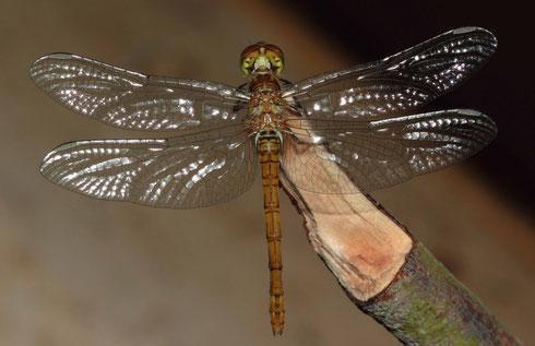Ein Weibchen der Großen Heidelibelle, Sympetrum striolatum, nach erfolgter Emergenz, unmittelbar vor dem Jungfernflug.