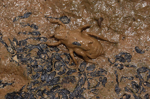Eine Larve des Vierflecks, Libellula quadrimaculata, auf der Suche nach einem Tümpel.