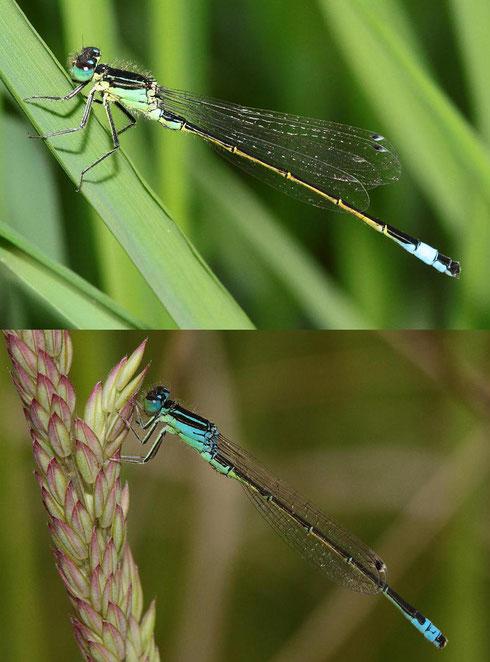 Direkter Vergleich zweier Männchen: Oben die Große Pechlibelle, Ischnura elegans, unten die Kleine Pechlibelle, Ischnura pumilio.