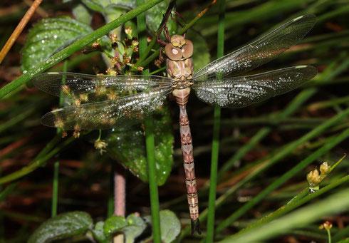 Frisch geschlüpftes Weibchen mit langen Hinterleibsanhängen, forma typica.