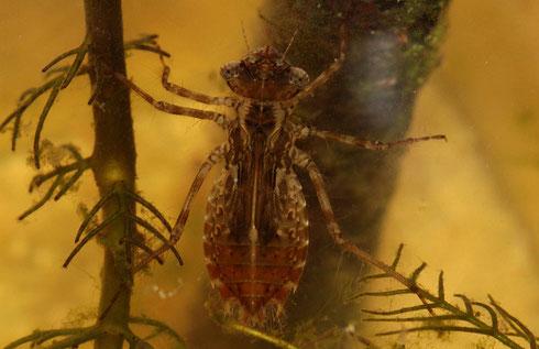 Ein Larve der Großen Heidelibelle, Sympetrum striolatum,  in ihrem letzten Stadium.
