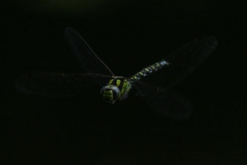 Dämmerungsjäger: Diese Aufnahme eines Männchens der Blaugrünen Mosaikjungfer entstand an einem späten Abend im Juli 2009.