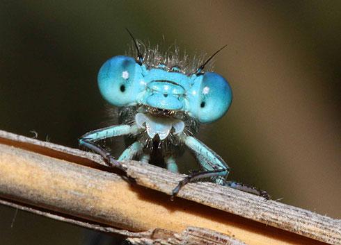 Ein Männchen der Pokal-Azurjungfer, Erythromma lindenii.