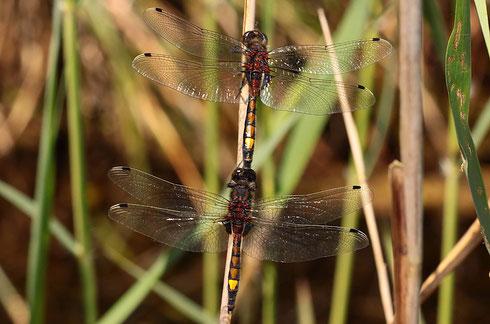 Fehlgriff: Fortpflanzungsversuche zwischen zwei Männchen können bekanntlich nicht funktionieren...
