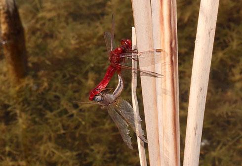 Ein ruhendes Paarungsrad der Feuerlibelle, Crocothemis erythraea.