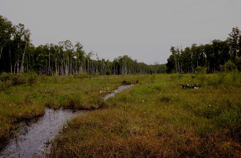 Lebensraum der Arktischen Samragdlibelle, Somatochlora arctica.