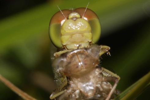 Die zwei Gesichter einer Großen Heidelibelle, Sympetrum striolatum.