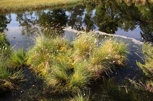 Lebensraum der Zwerglibelle (2)
