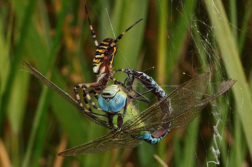 Ein Männchen in der Seidenfalle einer Wespenspinne.