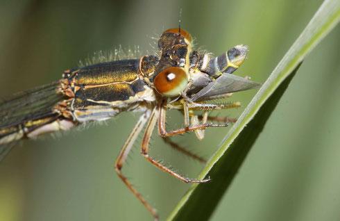 Detailaufnahme eines Weibchens mit einer Zickade als Beute.