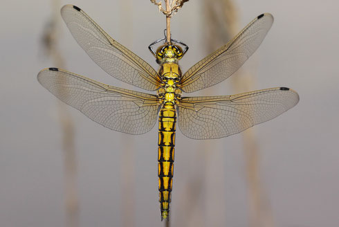 Ein junges Weibchen ist an seinem Schlupfsubstrat empor geklettert und bereitet sich auf seinen Jungfernflug vor.