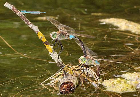 Ein Pärchen der Kleinen Königslibelle, Anax parthenope, bei der Eiablage in Tandemformation.