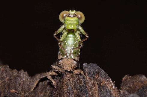 Eine Szene von der Emergenz eines Weibchens der Grünen Flussjungfer, Ophiogomphus cecilia.