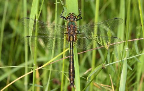 Ein adultes Männchen in der Vegetation ruhend.