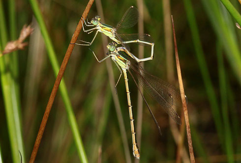 Übertragen des Spermas zum sekundären Geschlechtsapparat des Männchens mit angekoppeltem Weibchen.