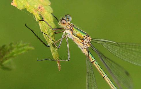"""Ein Weibchen der Gemeinen Binsenjungfer, Lestes sponsa. Beachte die dornenbesetzten Beine, die als """"Fangapparat"""" eingesetzt werden."""