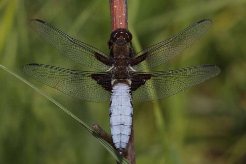 Plattbauch, Libellula depressa, reifes Männchen.