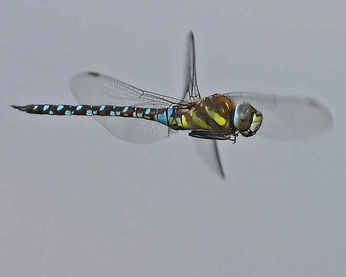 Ein Männchen der Herbst-Mosaikjungfer, Aeshna mixta, auf Patrouillenflug.
