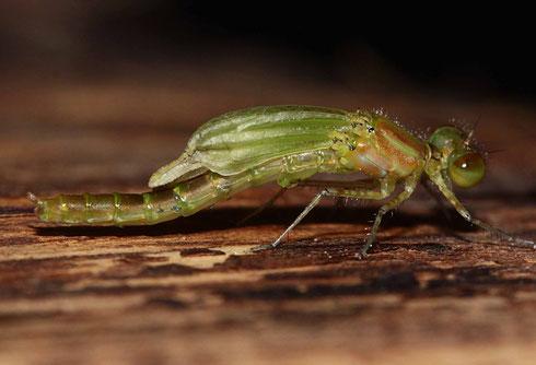 Ein frisch geschlüpftes Männchen des Kleinen Granatauges. Beachte die winzigen Parasiten (Wassermilbenlarven der Gattung Arrenurus) in der Mitte des Abdomens!