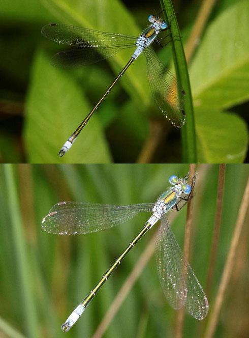 Ein direkter Vergleich zweier Männchen: Oben die Gemeine Binsenjungfer, Lestes sponsa, unten die Glänzende Binsenjungfer, Lestes dryas.