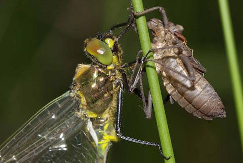 Portrait eines frisch geschlüpften Männchens der Glänzenden Smaragdlibelle mit Exuvie.