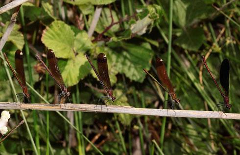 Bronzene Prachtlibellen: Vier Weibchen und ein Männchen (vorne) in der Obeliskstellung.
