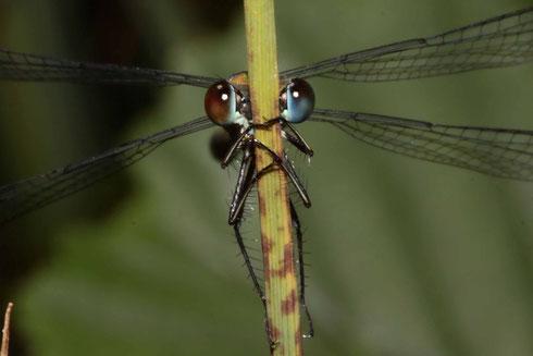 Ein Männchen der Gemeinen Weidenjungfer in einer seltenen Bi-Color-Variante.