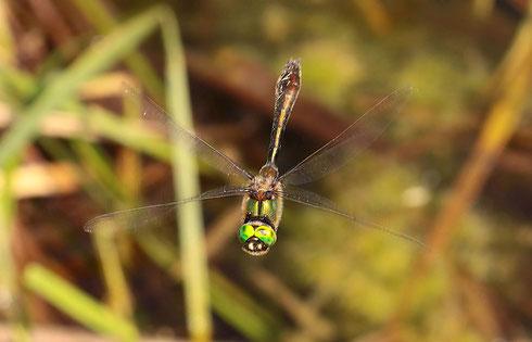 Ein Männchen der Gemeinen Falkenlibelle, Cordulia aenea, auf Patrouillenflug.