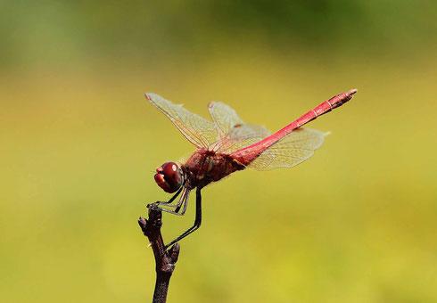 Ein Männchen der Frühen Heidelibelle in Obeliskstellung.