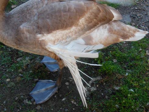 Kippflügel beim Höckerschwan