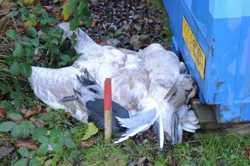 Erschossene Jungschwäne, sowie zwei Blesshühner. Die Jäger töteten weiter..........