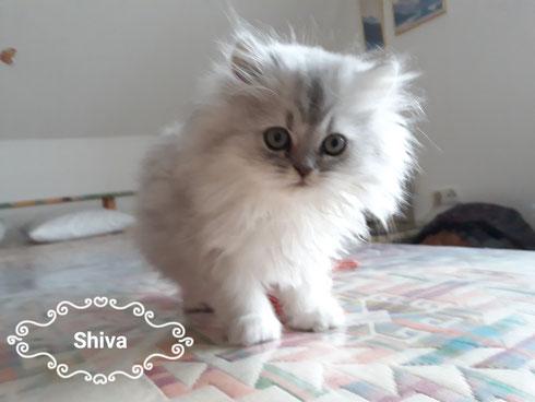 Unsere Madeleine - Carusobabys     Shiva silver shaded vergeben