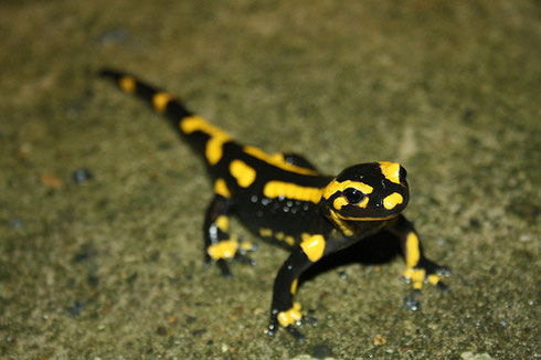 La Salamandre