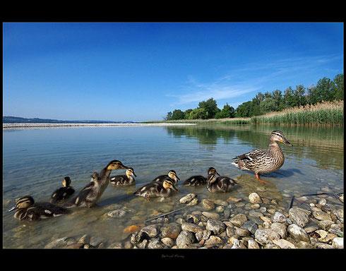Canard Colvert femelle et ses  petits