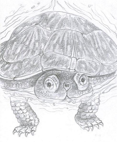 la tortue cistude