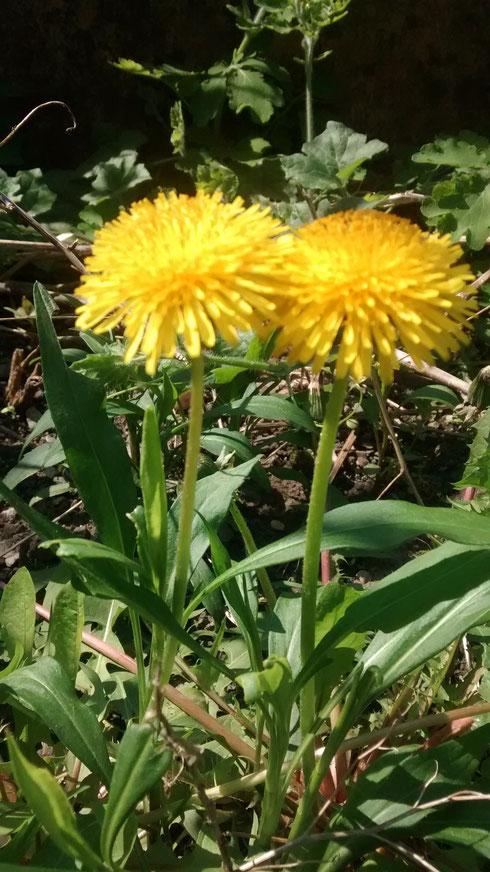 Le Pissenlit en fleur !