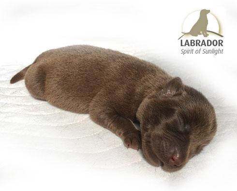 Labrador choco braun silberträger