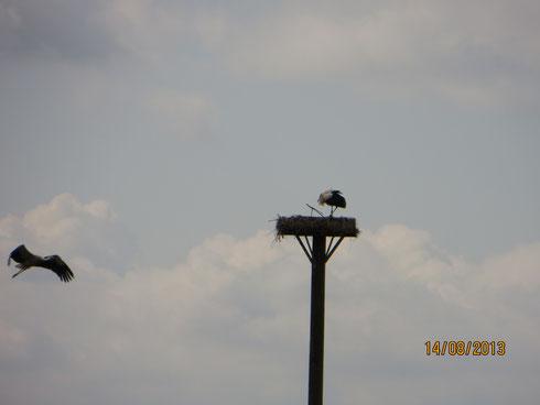 14.08.13: Der ältere Jungstorch im Anflug auf das Nest - Foto: Friedrich-Karl Menz