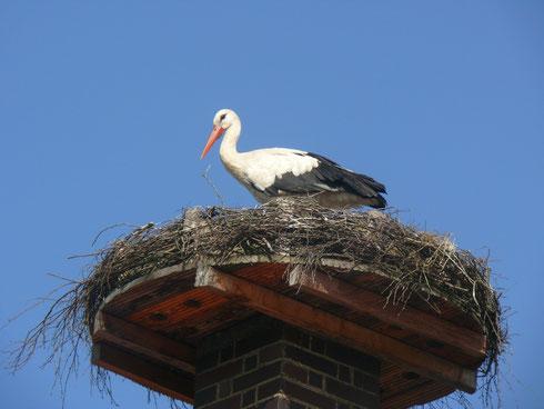 """13.08.13: Weißstorch """"Peer"""" auf dem Nest in der Egerstr. 10 - Foto: Stefan Wagner"""