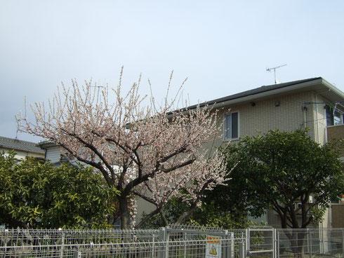 バラ科サクラ属。英名Japanese apricot。