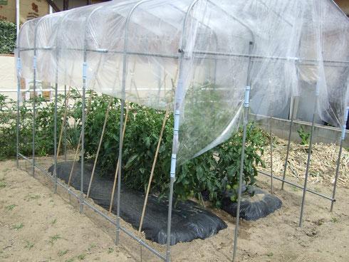 トマトにはビニールで屋根を。雨に濡れると実が破裂してしまいます。
