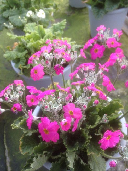 サクラソウの花は小さくてかわいい