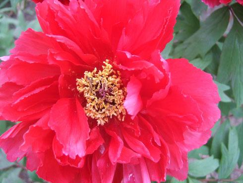 赤い花びらはみずみずしいけど、中はしわくちゃ。