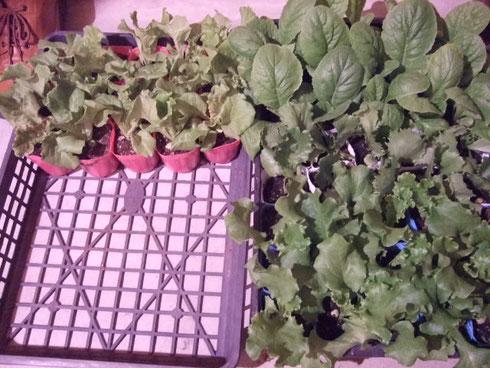 白菜、レタス、赤チシャ、青チシャ