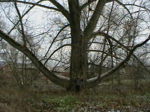 gegen diesen Baum bin ich angetreten und habe ihn in der 3. Runde niedergestreckt